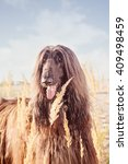 Small photo of Afghan Hound Portrait