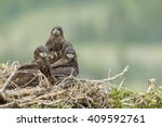 Three Juvenile Bald Eagles  Lat....