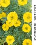 Small photo of Marigolds (Tagetes erecta, Mexican marigold, Aztec marigold, African marigold).
