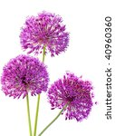 Three Alliums Ornamental Onion...