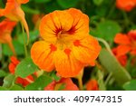 Orange Bloomed Nasturtium  In...
