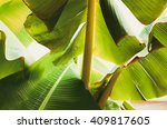 Banana Leaf Backlit Sun...