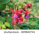Beautiful Fuchsia Flowers On...