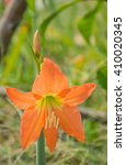 Small photo of Abstract soft blurred and soft focus of beautiful Hippeastrum johnsonii Bury (Amaryllidaceae) flowers.