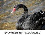 Black Swan  Perth  Australia