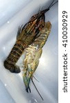 Small photo of red craw crayfish