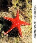 Ghardaqa Sea Star  Fromia...
