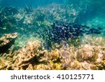 Small photo of Acanthurus coeruleus: Shoal of Atlantic Blue Tang Surgeon fish underwater in the Florida Keys