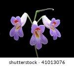 Small photo of Chirita flowers