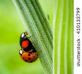 Insects Mating. Ladybug And...