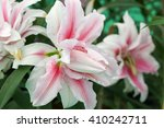 Pink And White Lilly Flower