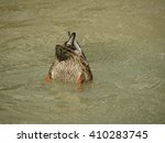 Duck With Head In The Water An...