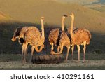 Ostriches On An Ostrich Farm ...