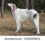 Small photo of white shaggy dog standing in a pine forest on tenterhooks