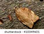 Small photo of Barred fruit-tree tortrix (Pandemis cerasana) micro moth. Small British insect in the family Tortricidae, in the order Lepidoptera, at rest.