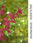 Small photo of Acer palmatum on light green background, japanese maple