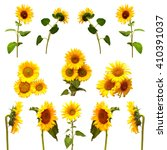Collection Sunflowers Isolated White Background - Fine Art prints