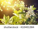 Blossoming Orange Tree