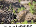 Small photo of Botta's Pocket Gopher - Thomomys bottae, peeking out from its burrow