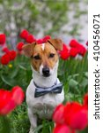 Stock photo jack russel terrier and spring 410456071