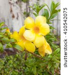 Small photo of Allamanda cathartica Yellow flower at beautiful Golden Trumpet willow-leaved climber blooming in the garden