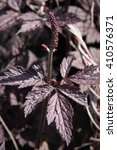 Small photo of actaea simplex 'pink spike' or baneberry or bugbane