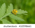 Small photo of Zygaenidae moths caterpillar is ready to gobble all the rowan-tree leaf