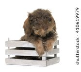 Stock photo puppy wire haired dachshund in front of white background 410619979