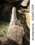 Small photo of Slender-snouted crocodile, Mecistops cataphractus is a rare African crocodile
