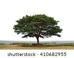 Big Mimosa Tree