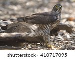 Small photo of Crested Goshawk, Accipiter trivirgatus