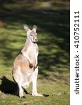Small photo of Young male red kangaroo, Megaleia rufa