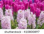 Hyacinths Grow Blossom ...