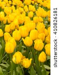 colorful tulips  beautiful... | Shutterstock . vector #410826181