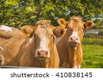 two brown cows stare at my... | Shutterstock . vector #410838145