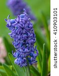 Blue Hyacinth In The Hyacinth...