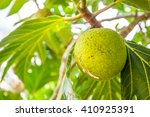 Close Up View Of A Breadfruit...