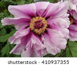 Beautiful pink peony flower - stock photo