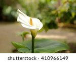 White  Calla Lily Flower Or...