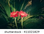 Twin Red Flower Transvaal Dais...