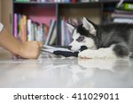 Stock photo picture of a funny husky puppy playing with a sock at home 411029011