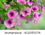 Close Up Of Petunias Hanging In ...