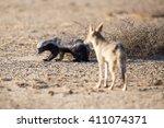 a honey badger looking back at... | Shutterstock . vector #411074371