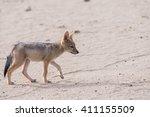 black backed jackal pup  canis... | Shutterstock . vector #411155509