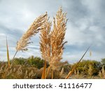 Dry Reed Stems