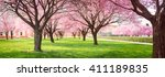 Panorama Of Cherry Blossom...