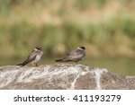 pair of rock pratincoles ... | Shutterstock . vector #411193279