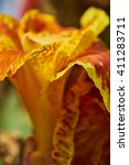 Orange Gladiolus  Close Up.