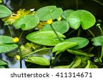 Yellow Waterlilies In A Pond