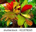 Croton. Colorful Croton Leaves...